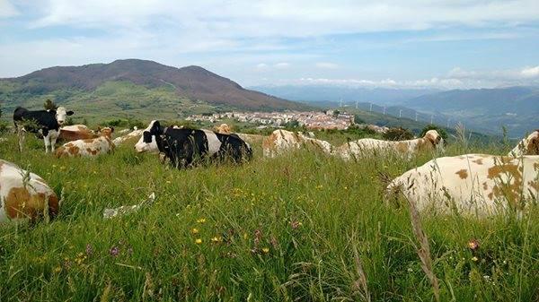 Mucche al pascolo. Foto: Emilio Ambrosini