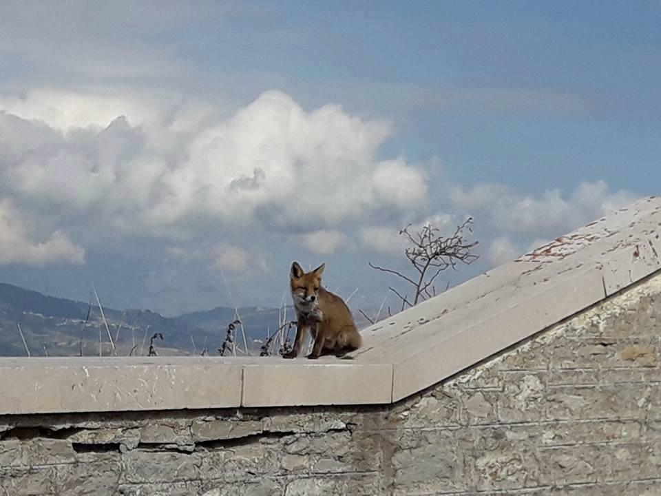 Lo splendido esemplare di volpe fotografato dalla nostra compaesana Giovanna Paglione sul Belvedere nello scorso mese di ottobre